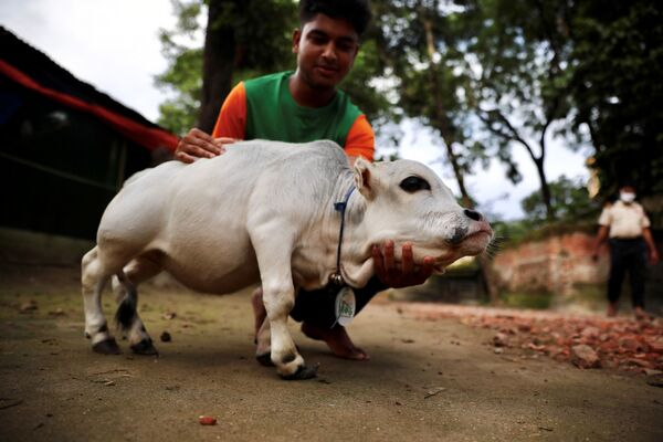 Trpasličí kráva Rani, jejíž majitel doufá, že překoná rekord v soutěži o nejmenší krávu ve světě. Nabinagar, Bangladéš. - Sputnik Česká republika