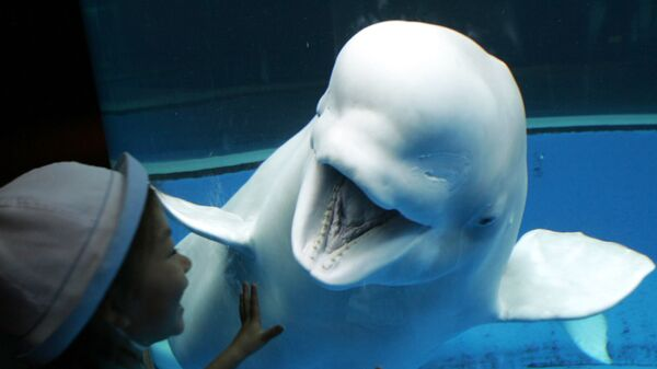 Белый кит реагирует на девушку, восхищающуюся морским существом в аквариуме Sea Paradise в Хаккейдзима, Япония - Sputnik Česká republika