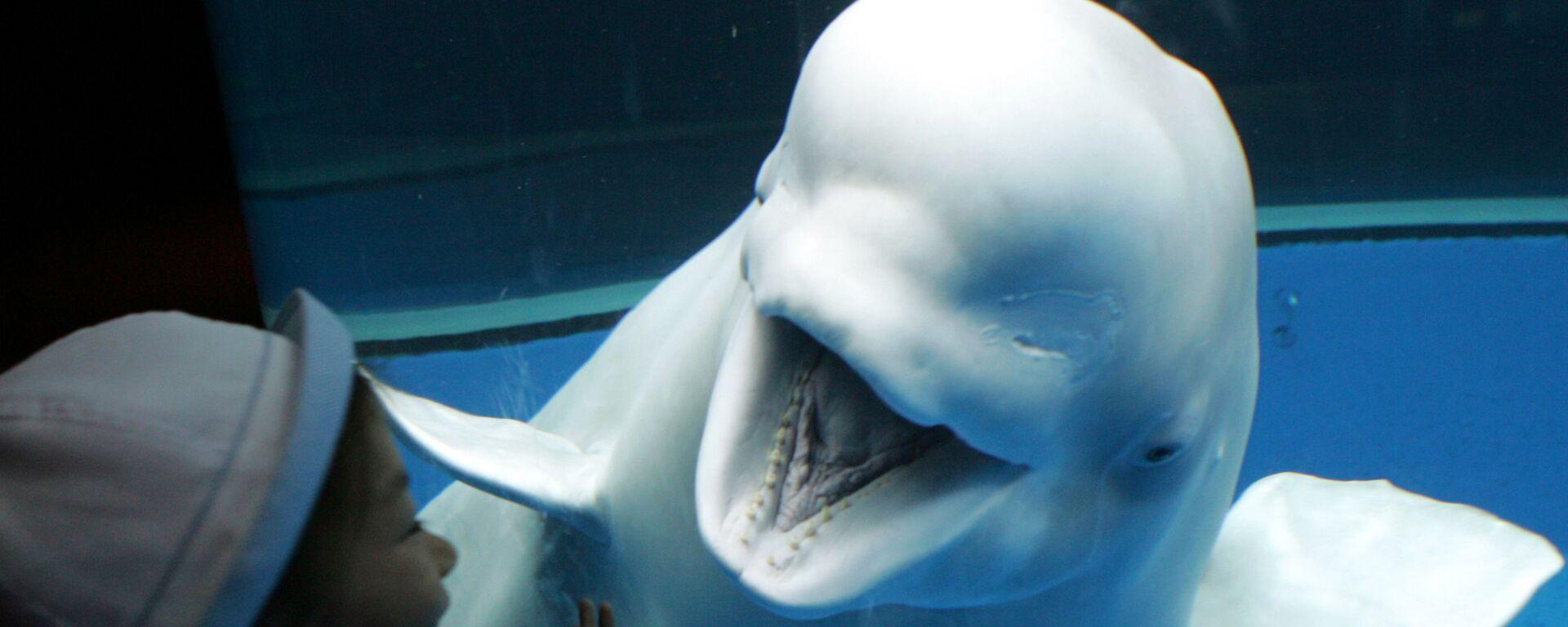 Белый кит реагирует на девушку, восхищающуюся морским существом в аквариуме Sea Paradise в Хаккейдзима, Япония - Sputnik Česká republika, 1920, 23.07.2021
