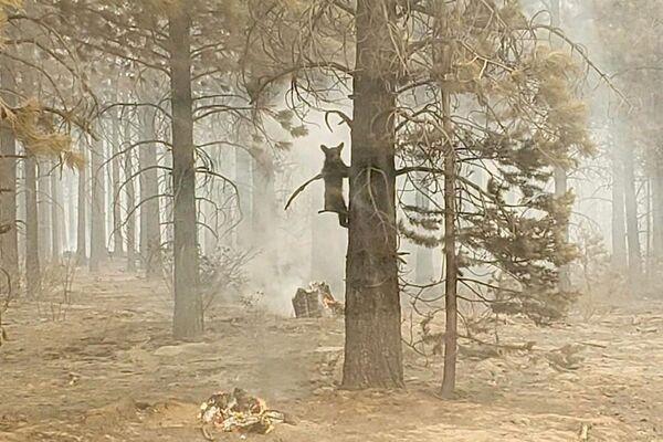 Medvídě v lese během požáru na jihu státu Oregon, USA. - Sputnik Česká republika