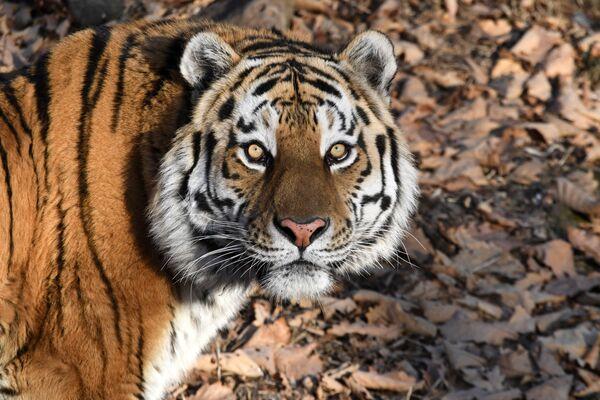 Tygr Amur v Přímořském safari parku - Sputnik Česká republika