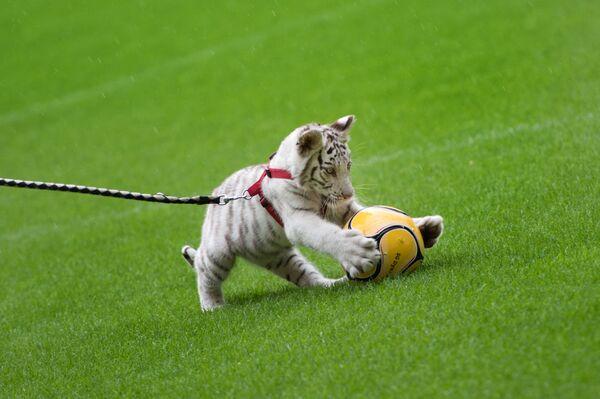 Mládě bílého tygra si hraje na fotbalovém stadionu v Drážďanech - Sputnik Česká republika