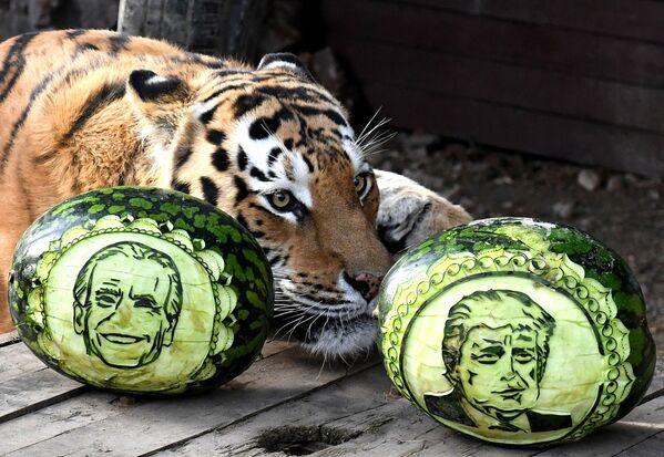 Tygr amurský Bartek si vybírá ze dvou melounů, na kterých jsou vyřezány portréty amerických prezidentských kandidátů - Sputnik Česká republika