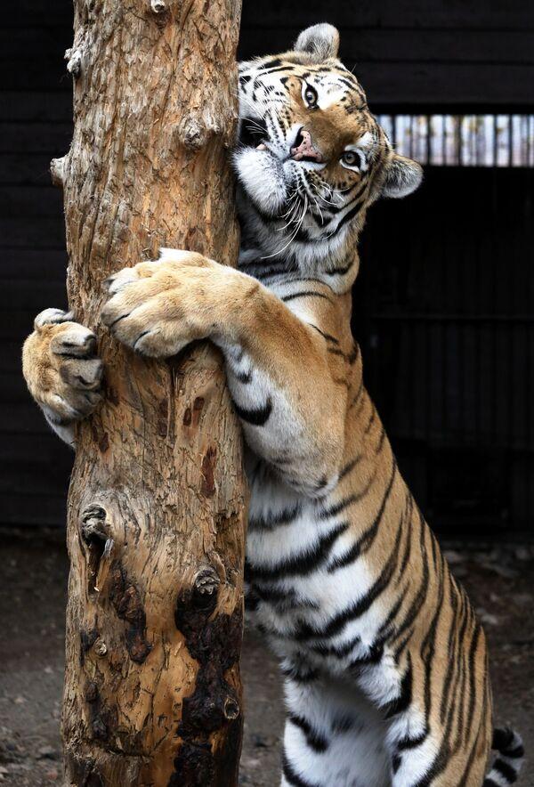 Tygr amurský jménem Bartek v parku flóry a fauny Rojev Ručej v Krasnojarsku - Sputnik Česká republika