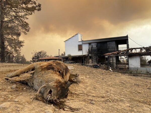 Spálené zvíře při požárech v Turecku - Sputnik Česká republika
