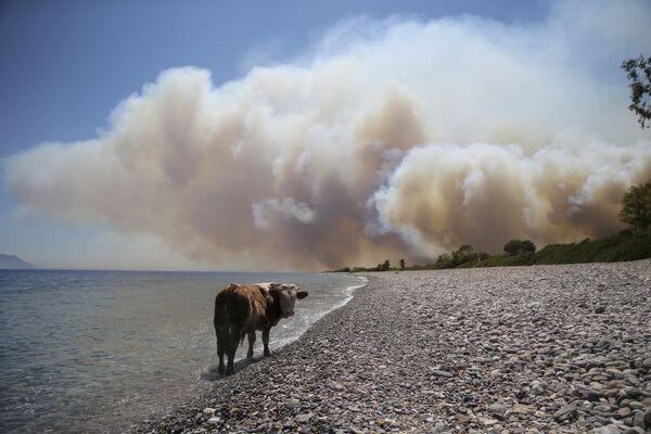 Kráva čeká na záchranu během přírodních požárů v Turecku. - Sputnik Česká republika