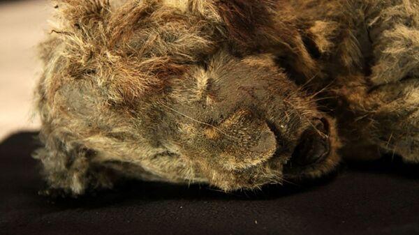 Пещерный львенок, найденный в вечной мерзлоте - Sputnik Česká republika