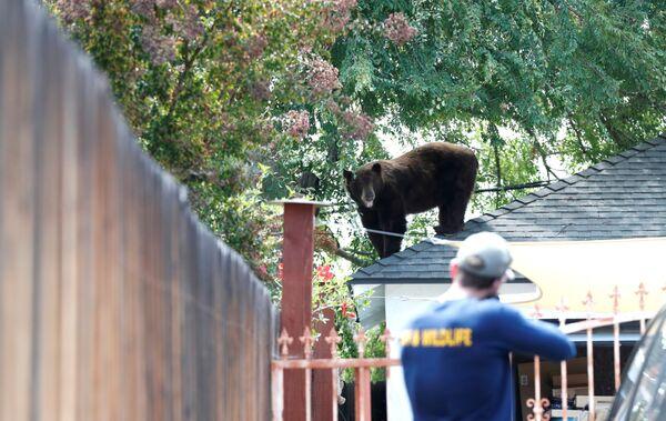 Medvěd na střeše domu v Kalifornii. - Sputnik Česká republika