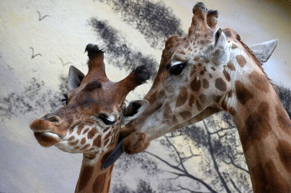 Žirafy v zoologickém parku Zoo de la Fleche ve Francii. - Sputnik Česká republika