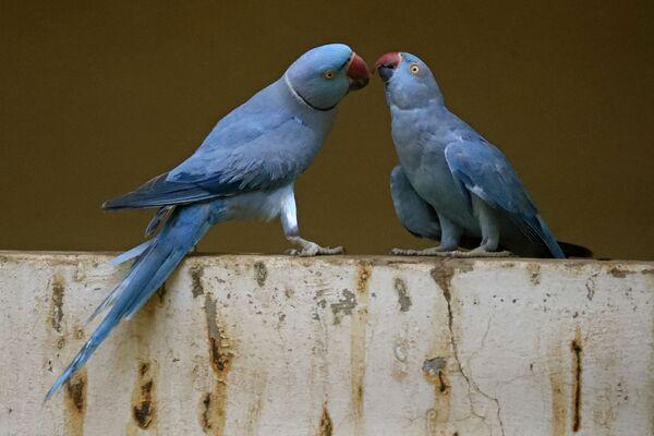 Papoušci druhu Alexandr malý v rezervaci na Marshallových ostrovech v Sudánu.  - Sputnik Česká republika