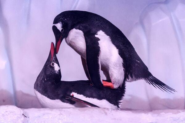 Tučňáci se líbají v akváriu v Bangkoku. - Sputnik Česká republika