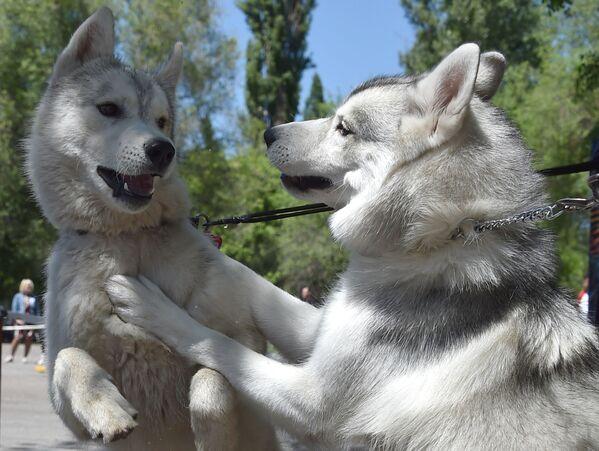 Husky si hrají na výstavě psů v Biškeku, Kyrgyzstán. - Sputnik Česká republika