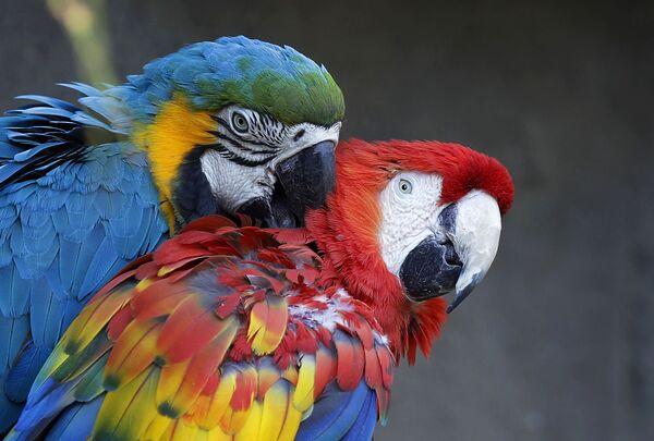 Dvojice papoušků v zoo Le Cornel ve Valbrembu, Itálie. - Sputnik Česká republika