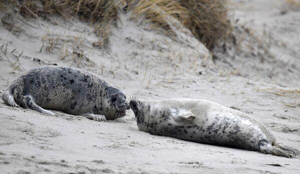 Tuleni komunikují na pláži ostrova Helgoland, Německo. - Sputnik Česká republika