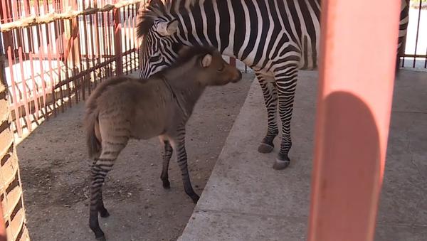 Narodilo se unikátní zvíře – zebroid. Zebroidův otec je osel, matka je zebra (VIDEO)  - Sputnik Česká republika