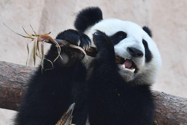 Velká panda, kterou Čína darovala moskevskému zoo. - Sputnik Česká republika