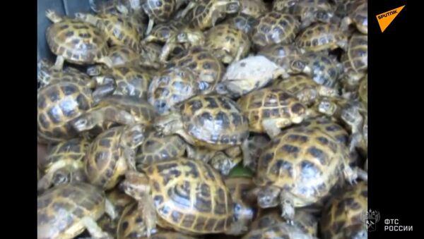 4 000 želv se pokusili přivézt do Ruska z Kazachstánu pod maskou zelí - Sputnik Česká republika