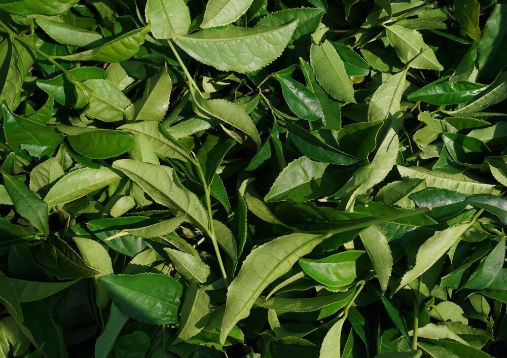 Čajové listy na plantážích v oblasti Macesta v Soči.