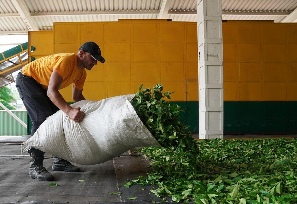 Rozkládání čajových listů na sušicí rámy.