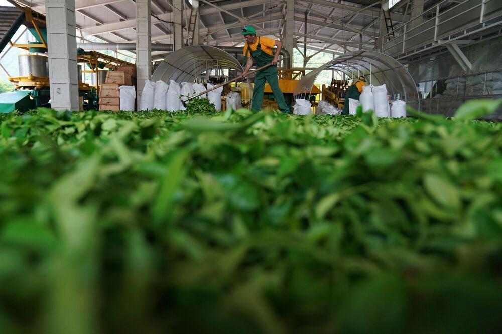 Výroba čaje.