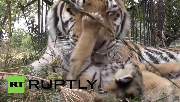 Krym: Tygřice Vasilisa adoptovala 5 amurských tygříků z tajgy - Sputnik Česká republika