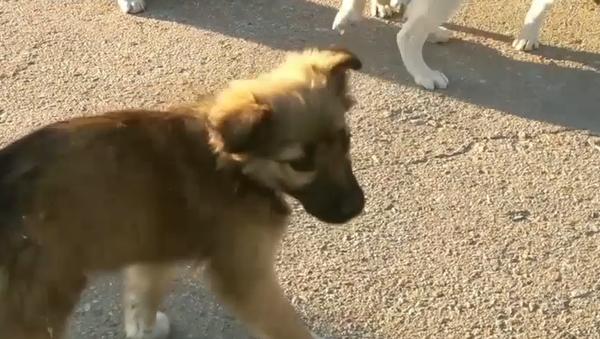 Z uzavřené zóny vyváží osamělá štěňata. Majitelé jejich rodiče opustili před 33 lety (VIDEO) - Sputnik Česká republika