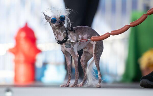 Pes během soutěže Nejošklivější pes roku v USA. - Sputnik Česká republika