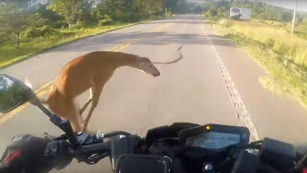 Splněný sen: Jelen srazil motocyklistu, který snil o tom, že se stane blogerem - Sputnik Česká republika