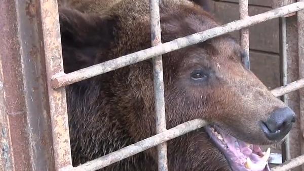 Video: Chudák medvěd se ocitl v beznadějných podmínkách. Pomáhají mu dobrovolníci    - Sputnik Česká republika