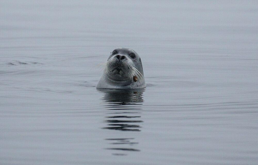 Tuleň vousatý (ostrov Top, Solovecké ostrovy)