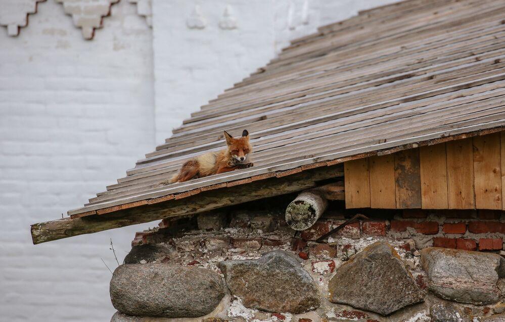 Liška na střeše Soloveckého kláštera
