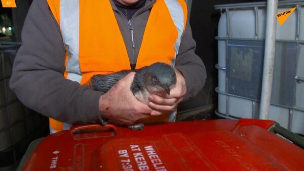 Novozélandská policie zadržela tučňáky, kteří vnikli do sushi baru - Sputnik Česká republika
