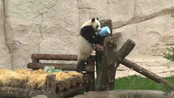 Video: V moskevském zoo oslavily narozeniny dvě pandy velké, které jsou dárkem Si Ťin-pchinga Putinovi  - Sputnik Česká republika