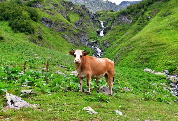 Kráva v Ritzinském národním parku - Sputnik Česká republika