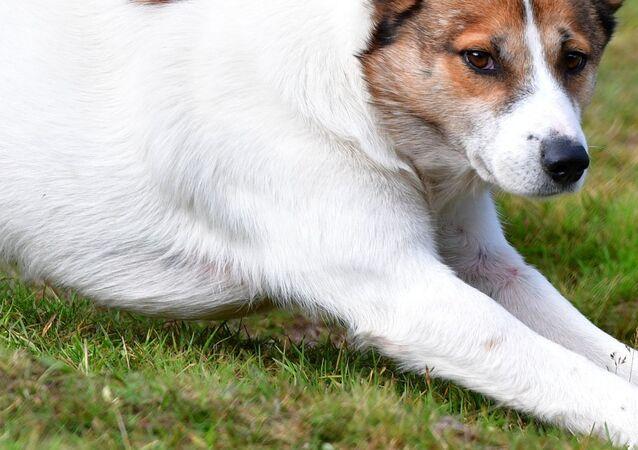 Ovčácký pes