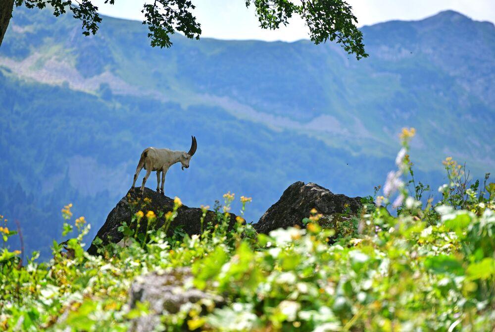 Horská koza v Ritzinském národním parku.