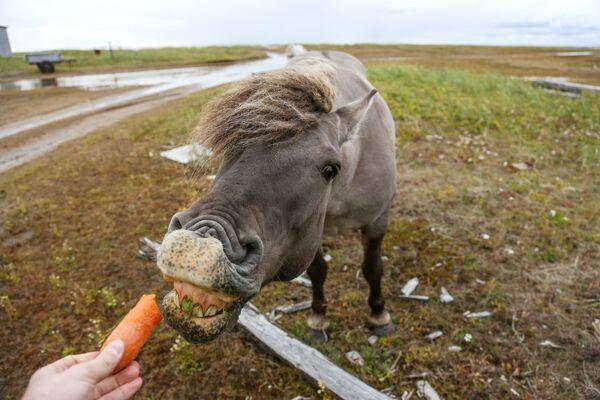Divoký kůň poblíž vesnice Kashkarantsy v Murmanské oblasti, Rusko - Sputnik Česká republika
