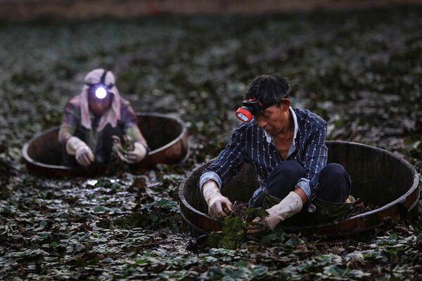 Zemědělci sbírají čínské vodní ořechy poblíž města Siao-kan, provincie Chu-pej, Čína. - Sputnik Česká republika