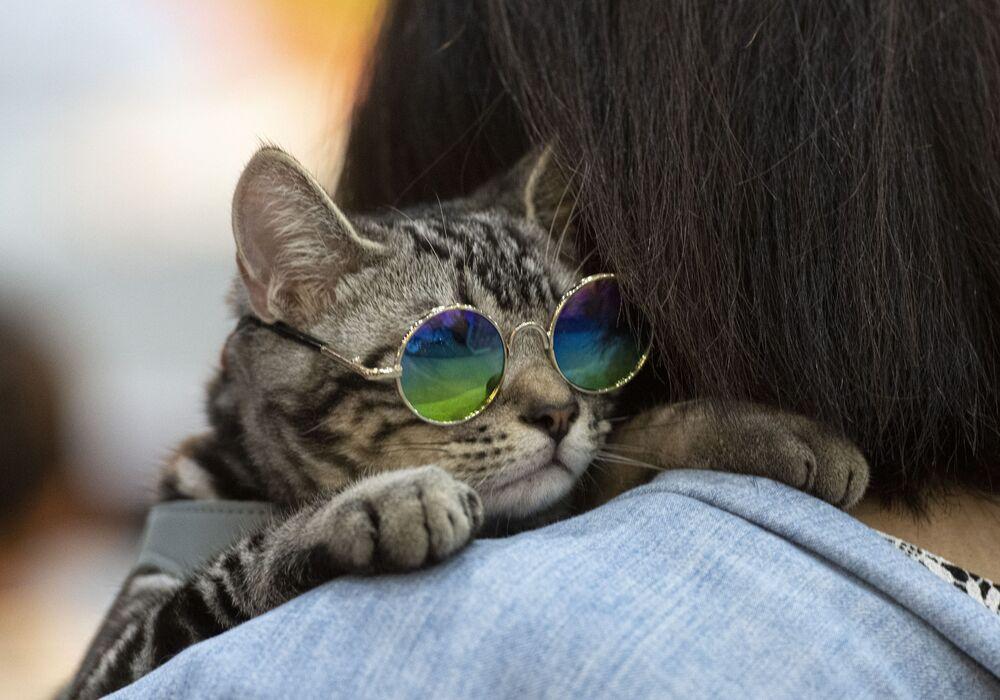 Kočka ve slunečních brýlích na Pet Expo Championship v Bangkoku.