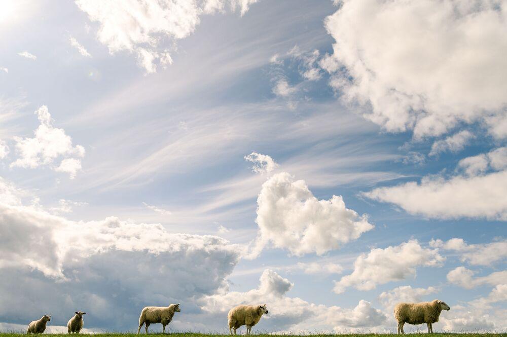 Stádo ovcí pod oblohou plnou mraků v Německu.