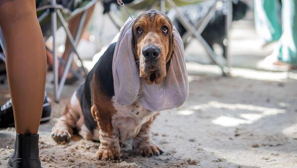 Baset na Mezinárodní výstavě psů v Minsku - Sputnik Česká republika