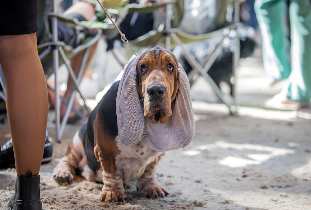 Baset na Mezinárodní výstavě psů v Minsku