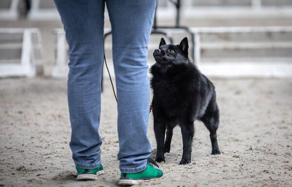 Šiperka na Mezinárodní výstavě psů v Minsku - Sputnik Česká republika