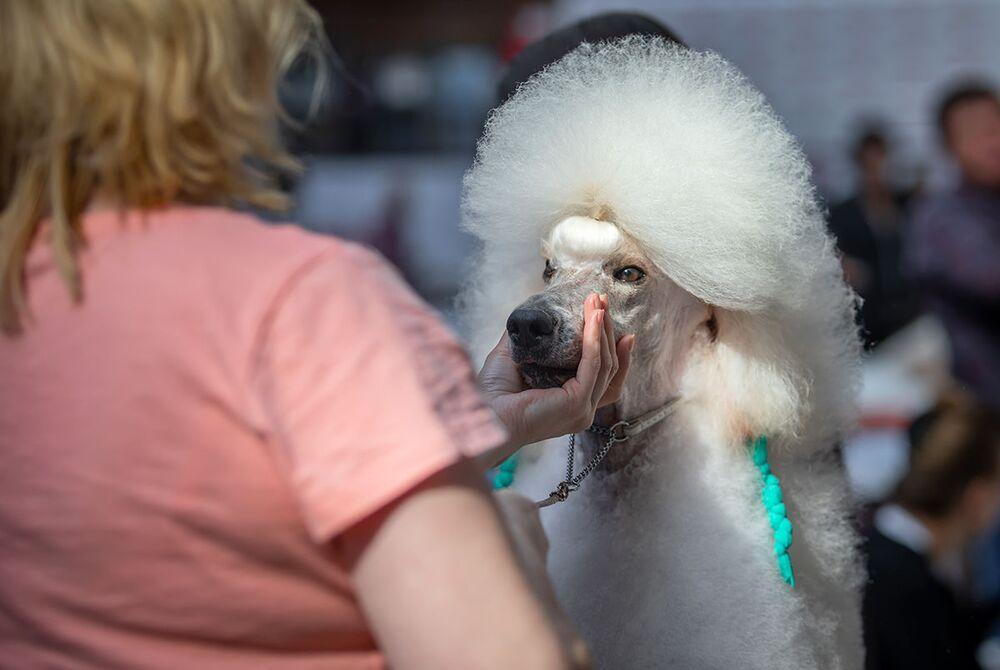 Bílý pudl na Mezinárodní výstavě psů v Minsku