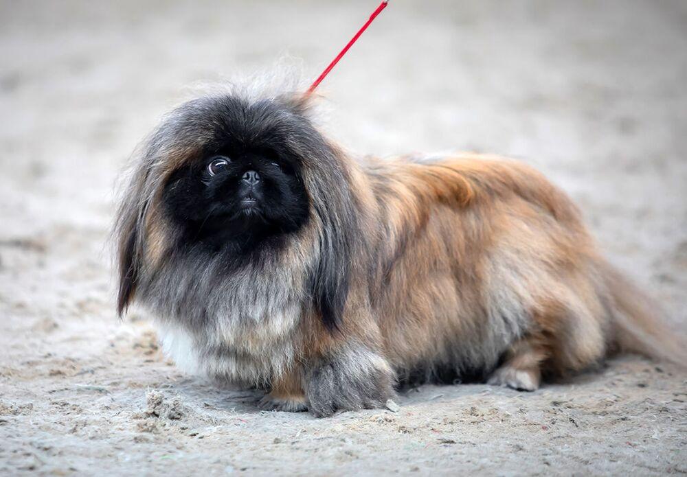 Pekingský palácový psík na Mezinárodní výstavě psů v Minsku