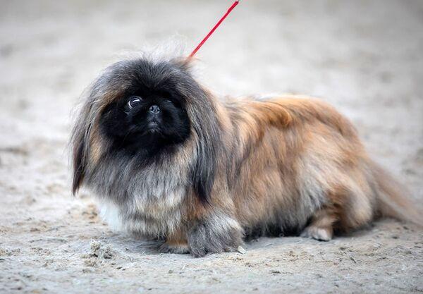 Pekingský palácový psík na Mezinárodní výstavě psů v Minsku - Sputnik Česká republika