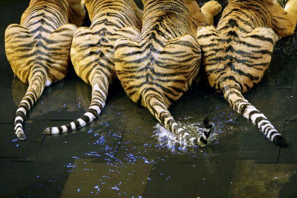 Malá aréna sportovního komplexu Lužniki, v níž má být představena nová show s tygry, rok 2009. - Sputnik Česká republika
