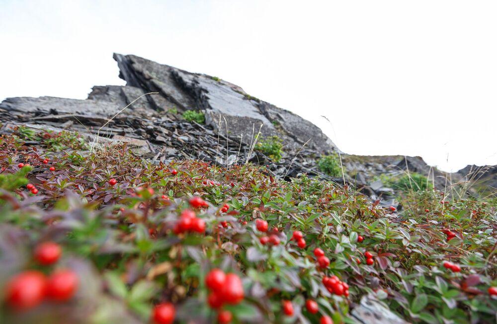 Brusinky rostoucí na úpatí skal na Rybářském poloostrově v Murmanské oblasti.