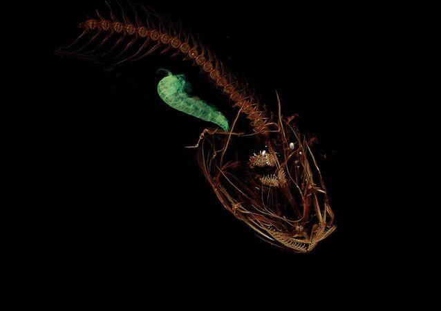 CT snímek ryby Pseudoliparis swirei, která obývá Mariánský příkop
