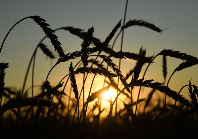 Obilné klasy na polích v Novosibirské oblasti.
